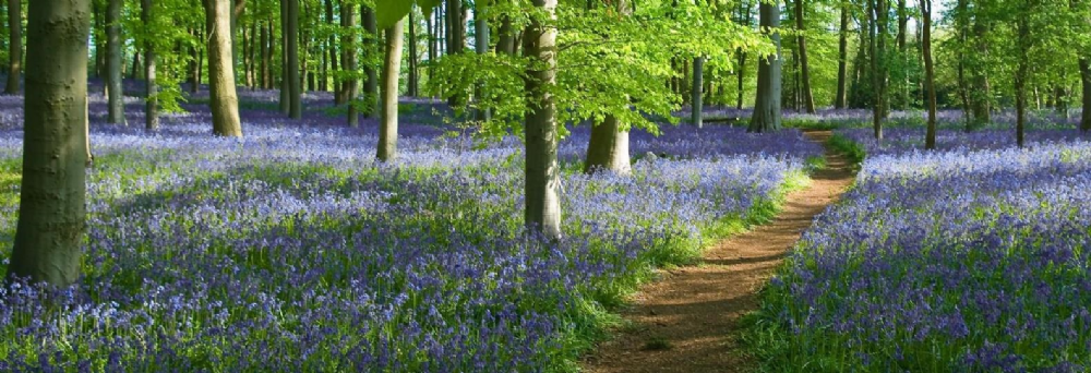Enjoy mists of bluebells in an 18th century landscape whilst supporting local charities